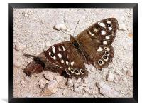 Speckled Wood Butterfly , Framed Print