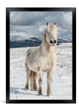 Welsh Mountain Pony, Framed Print
