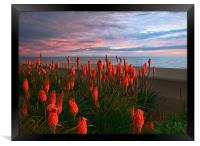 Red Hot Pokers, Framed Print