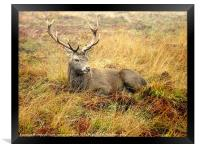 Stag break, Framed Print
