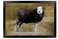 Herdwick sheep, Framed Print