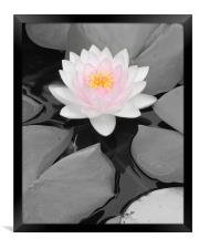 Color Focus Water Lily, Framed Print