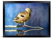 Sleeping Duck, Framed Print
