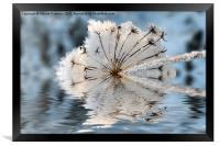 Frosted Cow Parsley, Framed Print