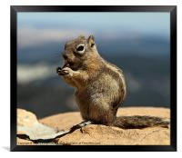 Ground squirrel from Utah., Framed Print