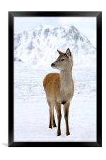 Red Deer, Framed Print