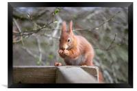 The Red Squirrel, Framed Print