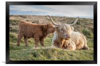 Highland calf with his mother, Framed Print