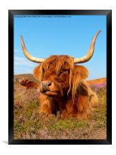Highland Cattle, Highland Cow, Scotland, Framed Print