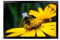 Bee on Helianthus, Framed Print