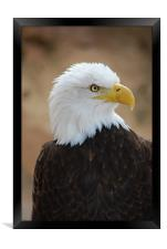 Bald Eagle, Framed Print