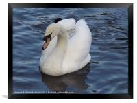 Swan on the Water, Framed Print