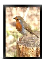 Winter Robin Red Breast, Framed Print