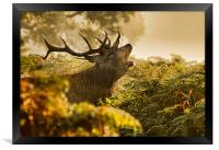 Calling Stag, Framed Print