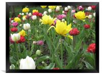 A Mix of Coloured Tulips, Framed Print