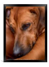 THE RESTING RIDGEBACK, Framed Print