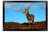 Red deer stag, Framed Print