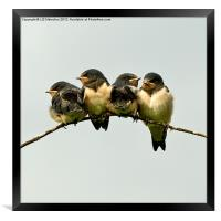 Swallow Fledglings 2, Framed Print