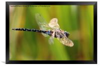 Hawker on the Wing, Framed Print