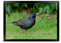 Starling in Colour, Framed Print