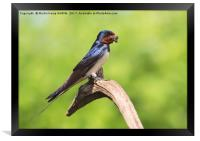 Swallow With Mud, Framed Print
