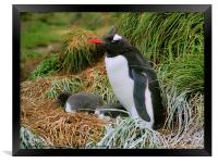 Gentoo Penguins on the Nest, Framed Print