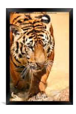 Tiger Coming Out Of The Water, Framed Print