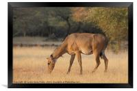 Female Nilgai, Framed Print