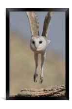 Barn Owl Coming in to Land, Framed Print