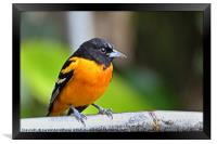Baltimore Oriole, Framed Print