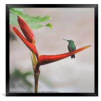 Scaly-breasted Hummingbird, Framed Print