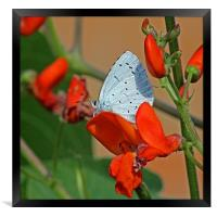 Small Blue Butterfly, Framed Print