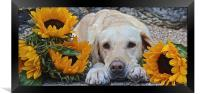 My Labrador My little Sunflower, Framed Print