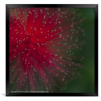 Photograph of a Calliandra flower, Framed Print