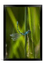 Common Blue Damselfly, Framed Print