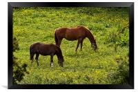 Horses grazing in a buttercup meadow, Framed Print