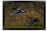 Mallards in flight, Framed Print