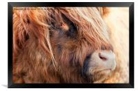 Highland Cow portrait, Framed Print