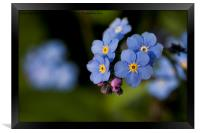 English Wildflowers - Forget-me-not, Framed Print