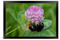 Bee collecting pollen from Clover, Framed Print