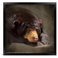 Sad Sun Bear, Framed Print