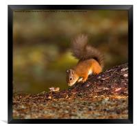 Red Squirrel Searching for Food, Framed Print