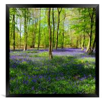English Bluebell Wood, Framed Print