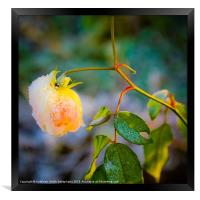 Frosted yellow rose, Framed Print