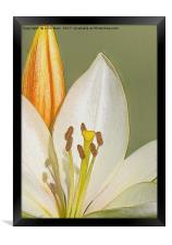 White Lily and Bud (Digital Art), Framed Print