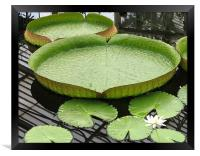 Giant lily pad, Framed Print
