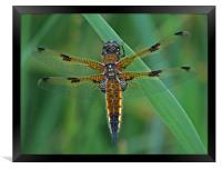 Four-Spotted Chaser Dragonfly 5, Framed Print