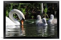 Mute Swan and Cygnets, Framed Print