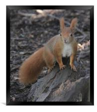 red squirrel dirty face, Framed Print
