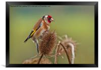 Goldfinch (Carduelis carduelis), Framed Print